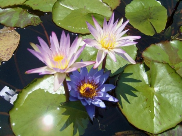 Pink-and-Purple-aquatic-lilies-that-are-edible-by-Lisa-Burns-on Garden-Center-TV