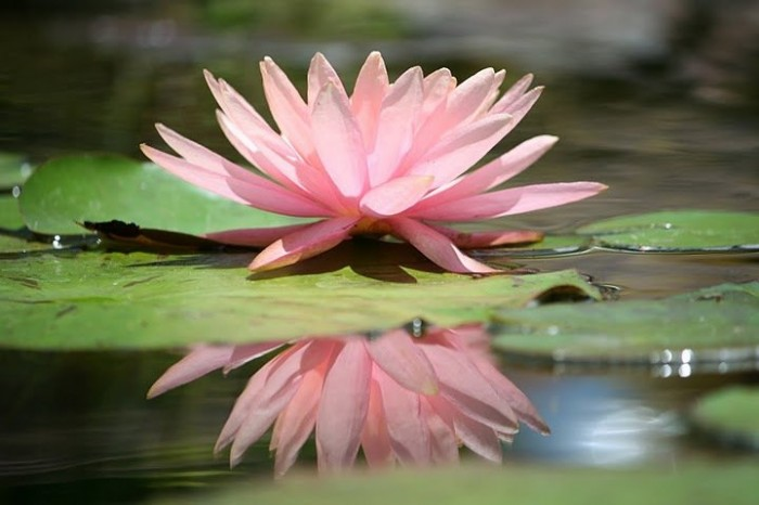 Pink-water-lily-floating-on-top-of-pond