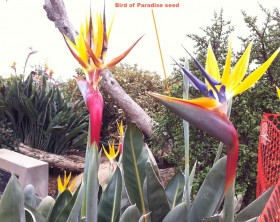 Bird-of-Paradise-flower in bloom-garden-center-tv