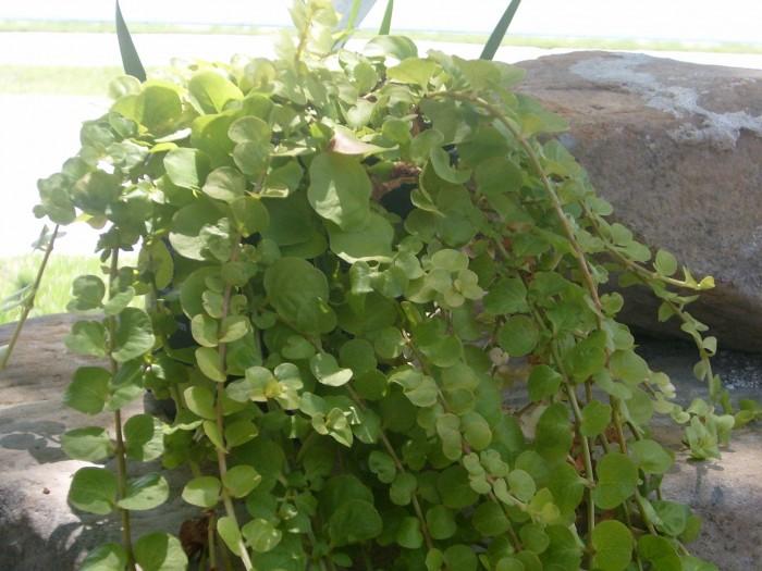 Lysimachia-creeping-jenny-water-garden-plant