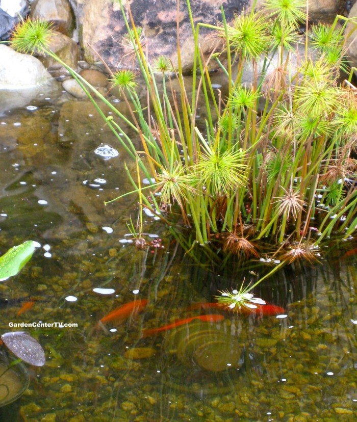 Toxic plant list for your pond garden center tv for Pond fish species