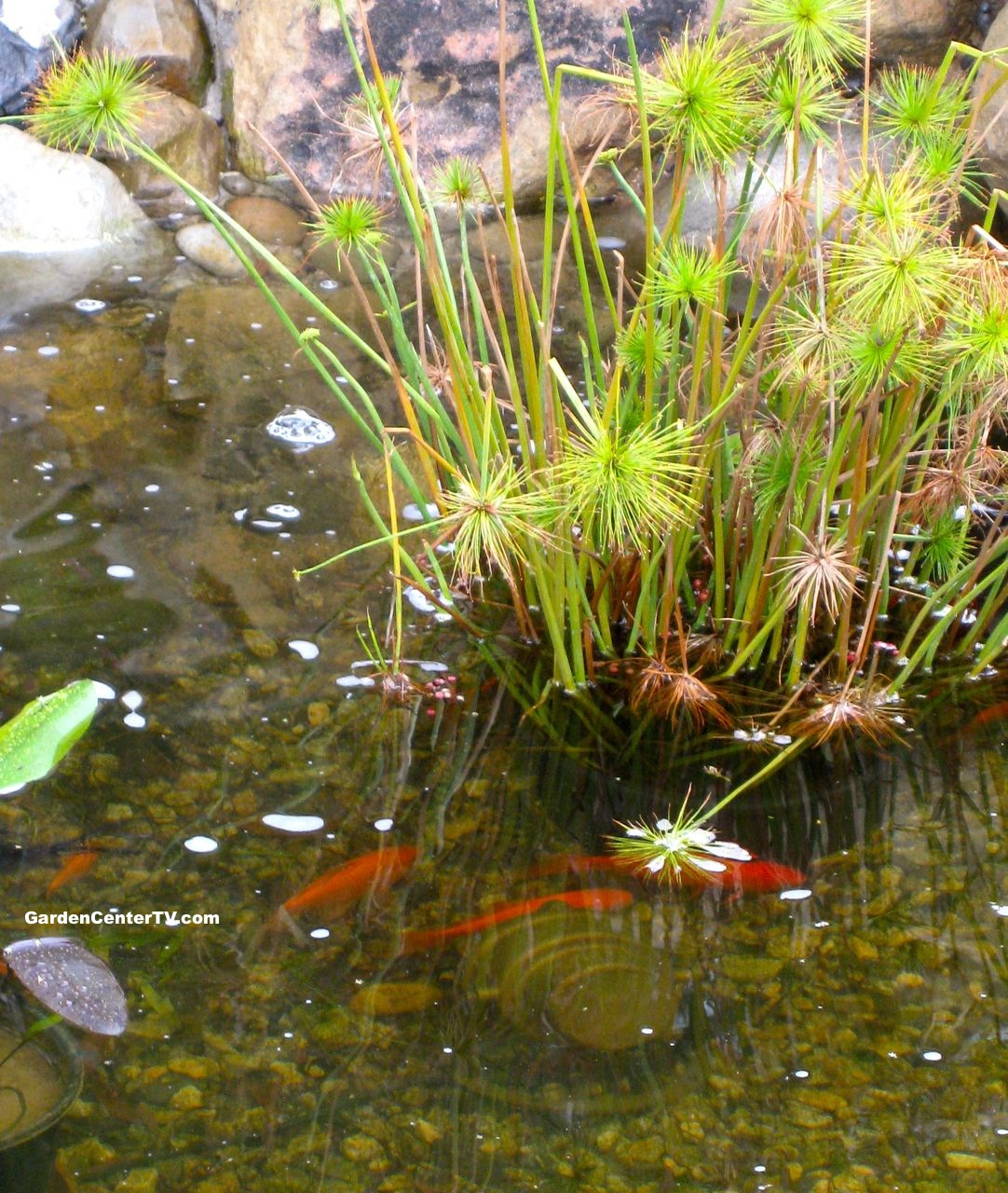 Papayrus plant in pond with koi fish garden center tv for Koi pond garden