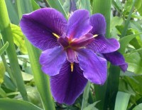 purple-iris-flower-for-garden-and-water-garden