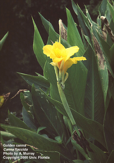Yellow-canna-lily-water-and-garden-plant-lisa-burns
