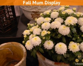 garden-mum-chrysanthemum-in-container-display-gardencentertv