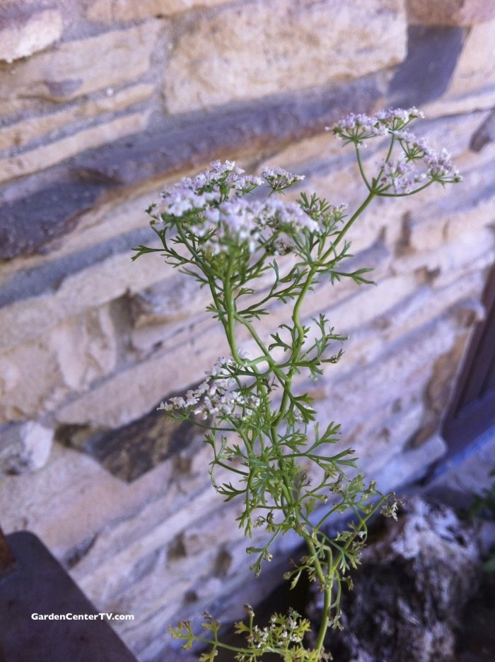 Cilantro-plant-flower-and-seeds-edible-gardencentertv