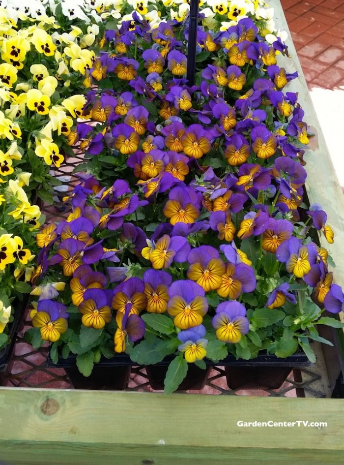 Purple-yellow-viola-flowers-edible-flowers-gardencentertv
