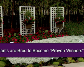 Shirley-Bovshow-How-Plants-Are-Bred-To-Become-Proven-Winners-Plants-Trellis-Container-Gardens