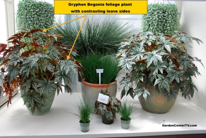Gryphon-begonia-foliage-plant-contrasting-leaves-on-both-sides-garden-center-tv