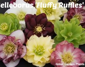 Helleborus 'Fluffy Ruffle' as presented in video by Chris of Great Garden Plants