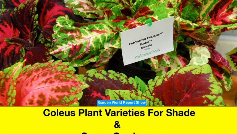 Coleus plant varieties for shade and sunny gardens.
