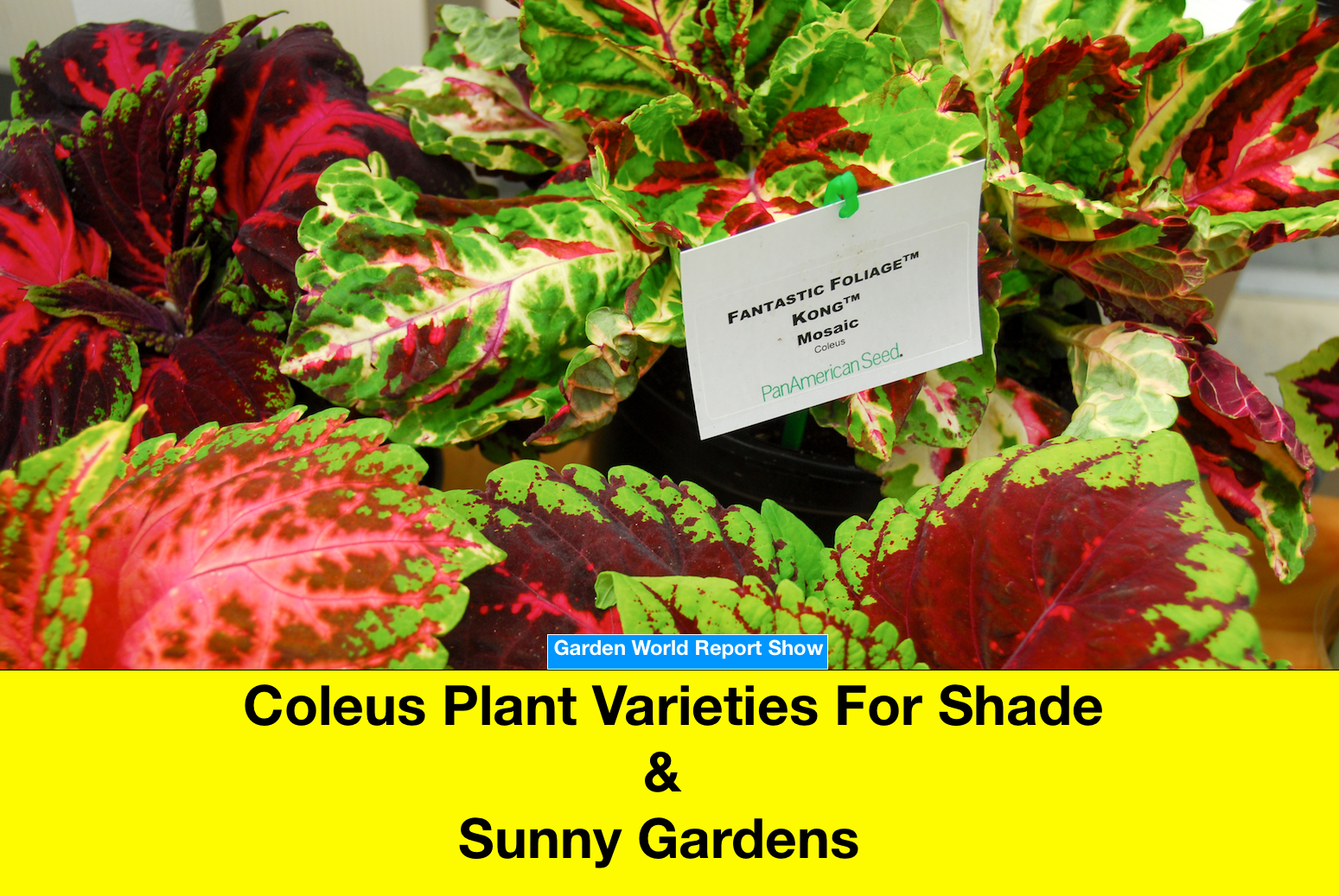 Coleus Plant Varieties For Shaded And Sunny Gardens