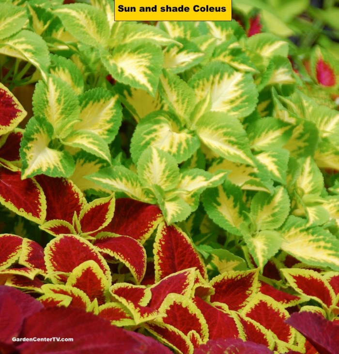 Coleus Foliage Plant For Sun Or Shade Garden