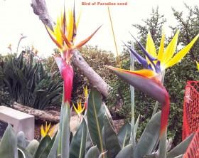 Bird-of-Paradise-flower in bloom-garden-center-tv